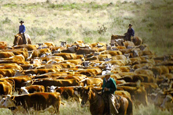 Land For Sale Amarillo Tx >> Bull Customers | Barber Ranch