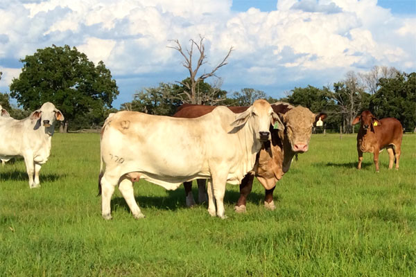 Land For Sale Amarillo Tx >> Bull Customers - Barber Ranch - Hereford Cattle in ...